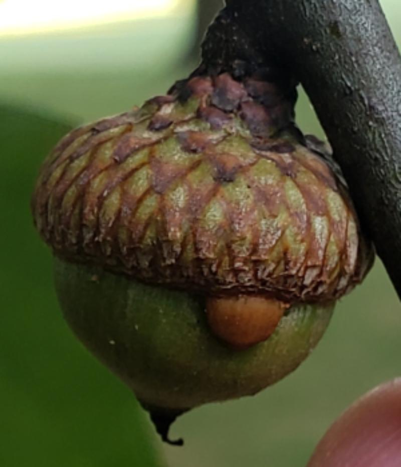 image of Callirhytis quercusoperator (agamic)