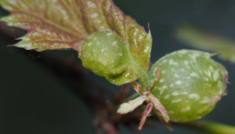 image of Dryocosmus quercuspalustris