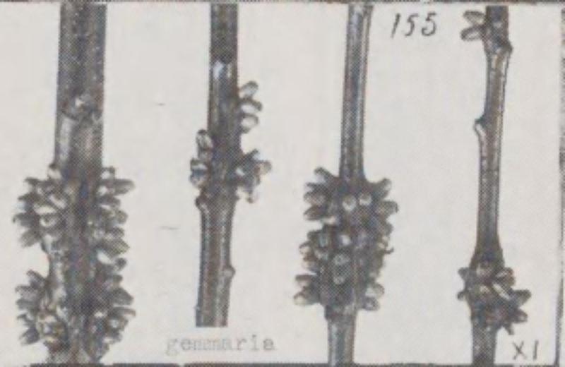 image of Callirhytis quercusgemmaria