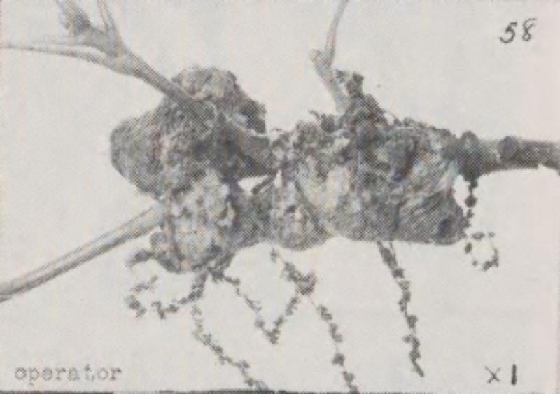 image of Callirhytis quercusoperator (sexgen)